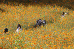 Women wearing face masks to help protect against the spread of the coronavirus take selfies in a field of cosmos flowers at Olympic Park in Seoul, South Korea, Monday, Oct. 5, 2020. (AP Photo/Ahn Young-joon)