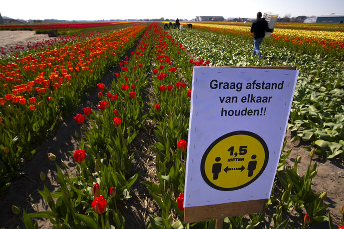 A sign asking people to observe social distancing and keep 1.5 meters, or five feet, apart to reduce the spread of the coronavirus was put up in a field of tulips in Lisse, Netherlands, Thursday, March 26, 2020. The world-renowned Dutch flower garden Keukenhof in Lisse will not open this year after the Dutch government extended its ban on gatherings to June 1 in an attempt to slow the spread of the coronavirus. Instead of opening, it will allow people to virtually visit its colorful floral displays through its social media and online channels. The new coronavirus causes mild or moderate symptoms for most people, but for some, especially older adults and people with existing health problems, it can cause more severe illness or death. (AP Photo/Peter Dejong)