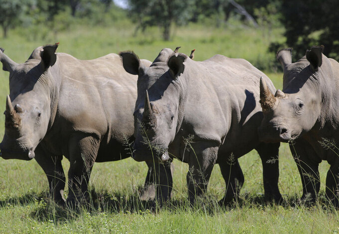 FILE - In this Wednesday, March 8, 2017 file photo, three rhinos line up at the Welgevonden Game Reserve in the Limpopo province, South Africa. South Africa's government has announced the number of rhinos killed in the country's national parks dropped by 33% last year, with COVID-19 restrictions helping by reducing movements around the country, the country's environmental ministry announced Monday Feb. 1, 2021. (AP Photo/Renee Graham, File)
