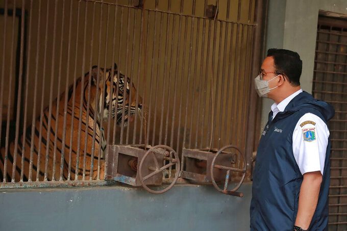 In this photo released by Jakarta Province Government, Jakarta Governor Anies Baswedan visits one of the two Sumatran tigers that contracting COVID-19 at the Ragunan Zoo in Jakarta, Indonesia, July 31, 2021. Two rare Sumatran tigers at the zoo in the Indonesian capital are recovering after being infected with COVID-19. (Dadang Kusuma WS/Jakarta province Government via AP)