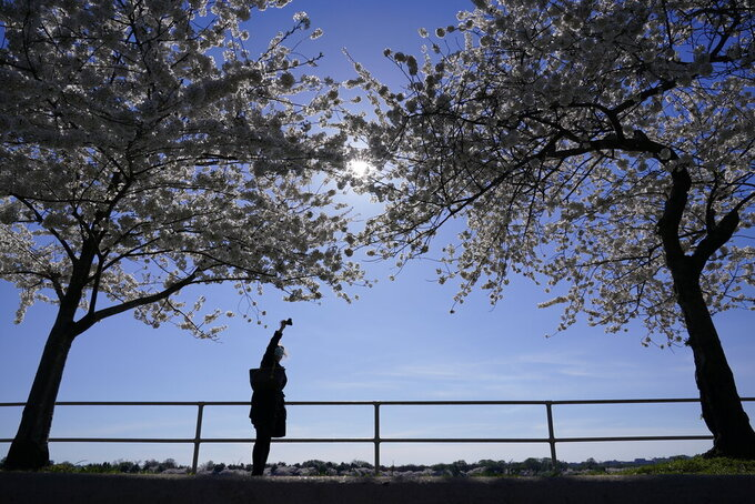 A person photographs Yoshino cherry trees that are in full bloom around the Tidal Basin in Washington, Tuesday, March 30, 2021. The 2021 National Cherry Blossom Festival celebrates the original gift of 3,000 cherry trees from the city of Tokyo to the people of Washington in 1912. (AP Photo/Susan Walsh)