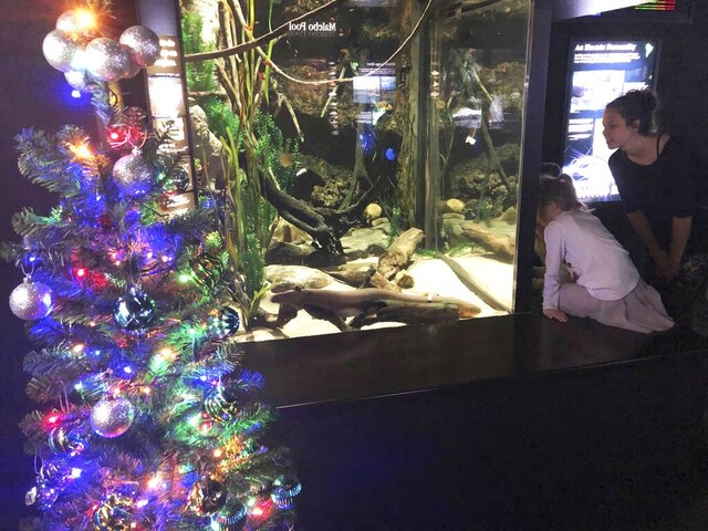 In this undated photo provided by the Tennessee Aquarium, an electric ell named Miguel Wattson lights up a Christmas tree at the Tennessee Aquarium in Chattanooga, Tenn. The aquarium says a system connected to Miguel's tank enables his shocks to power strands of lights on the nearby tree.  (Thom Benson/Tennessee Aquarium via AP)
