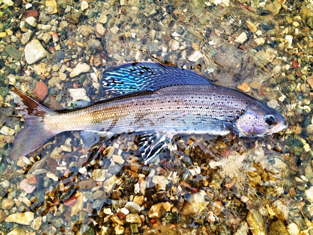 This photo provided by the U.S. Fish and Wildlife Service shows an Arctic grayling captured in a U.S. Fish and Wildlife Service fish trap at Red Rock Lakes National Wildlife Refuge near Lima, Montana. U.S. wildlife officials have rejected federal protections for the rare, freshwater fish species at the center of a long-running legal dispute. The decision, on Wednesday, July 22, 2020, comes almost two years after a federal appeals court faulted the U.S. Fish and Wildlife Service for dismissing the threat that climate change and other pressures pose to Arctic grayling. (Jim Mogen/U.S. Fish and Wildlife Service via AP)