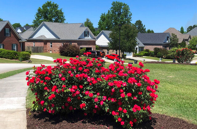 In this April 27, 2020, photo, knockout roses bloom at the end of a driveway in a subdivision in Evans, Ga. (AP Photo/Lisa J. Adams Wagner)