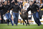 Handlers guide Colorado mascot Ralphie VI on the traditional run before an NCAA college football game against Northern Colorado, Friday, Sept. 3, 2021, in Boulder, Colo. The run was the first for Ralphie VI. (AP Photo/David Zalubowski)