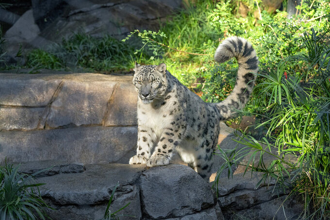 This Oct. 17. 2018, photo, provided by the San Diego Zoo Wildlife Alliance, shows Ramil, a male snow leopard, who was tested for the coronavirus after caretakers noticed that he had a cough and runny nose on Thursday, July 22, 2021, at the San Diego Zoo in San Diego. The animal's stool sample was tested by the zoo staff and at a state-level lab, both of which confirmed the presence of the coronavirus, the zoo said in a statement Friday, July 23. It's unclear how Ramil got infected. In 2017, veterinarians removed his left eye due to a chronic condition he already had when he arrived at the zoo. (San Diego Zoo Wildlife Alliance via AP)