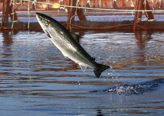 FILE - In this Oct. 11, 2008 file photo, an Atlantic salmon leaps out of the water at a Cooke Aquaculture farm pen near Eastport, Maine. President Donald Trump is hoping to dramatically upscale aquaculture in the U.S., including expanding the long controversial sector of offshore aquaculture. In May 2020, the president issued an executive order that promised broad changes in how the U.S. regulates fish farming. (AP Photo/Robert F. Bukaty, File)