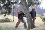 "Ryan Kaczor, left, and Jordan Michaud, right, remove the Hinkle Tree on the golf course at the Inverness Club Friday, March 6, 2020 in Toledo, Ohio. The Black Hills spruce known as ""The Hinkle Tree"" was uprooted by a gust of wind this week. The tree dated to the 79th Open, when a journeyman pro named Lon Hinkle came up with a way to outsmart the course during the first round. (Amy E. Voigt/The Blade via AP)"