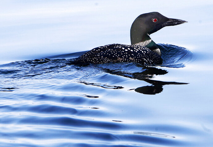 FILE - In this April 20, 2014 file photo, a loon swims on Lake Winnipesaukee in Wolfeboro, N.H. It was a banner year for loons in Northern New England, with record numbers of pairs found in Vermont and New Hampshire. (AP Photo/Jim Cole, File)