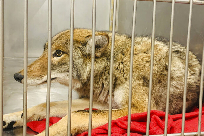 This Friday, Jan. 10, 2020 photo provided by Chicago Animal Care and Control in Chicago shows an injured coyote after it was successfuly located and safely darted with a tranquilizer. A Chicago animal control official says DNA tests to determine if the coyote captured on the city's North Side is the animal that attacked a 6-year-old boy will take weeks to complete. Jenny Schlueter of the Chicago Animal Care and Control says the coyote that was captured Thursday night will be held at an animal rehabilitation center until the tests are completed. (Chicago Animal Care and Control via AP)
