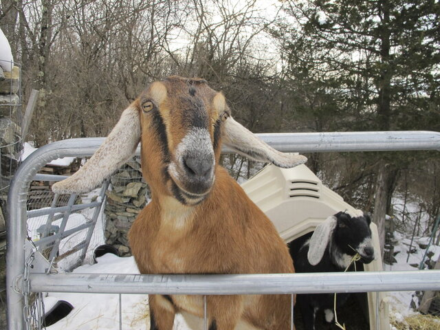 In this Jan. 24, 2020, photo, Lincoln, a Nubian goat, stands in her pen in Fair Haven, Vt. She is running for a second term as honorary mayor of the town against Sammy, a German Sheperd police dog, as a fund-raiser for a community playground. (AP Photo/Lisa Rathke)