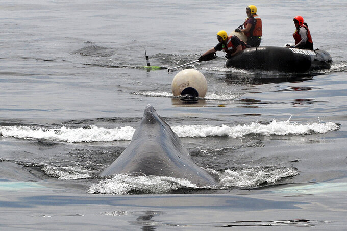 Members of the Marine Animal Entanglement Response team from the Center for Coastal Studies, in Provincetown, Mass., use a knife at the end of a 30-foot pole to cut rope and free a mature female humpback whale named Valley from its entanglement in fishing gear, Wednesday, June 9, 2021, in waters outside Boston Harbor. The effort to free the humpback whale from entanglement in fishing gear took about three days, and ended in success, marine mammal experts said Thursday. (Scott Landry/Center for Coastal Studies, NOAA permit #18786-05, via AP)
