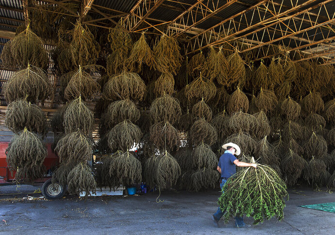 FILE - In this Oct. 10, 2019 file photo, workers at MERJ farms unload hemp plants during the first harvest at the Sullivan County farm, in Bristol, Tenn. U.S. agriculture officials say a rule that allows farmers to legally grow hemp will be finalized this week. It's a move that many states have awaited for months so they can begin widespread hemp production. The rule establishes requirements for licensing, maintaining records on the land where hemp will be grown, testing the levels of the ingredient in marijuana that causes a high, and disposal of plants that don't meet the requirements. (David Crigger/Bristol Herald Courier via AP, File)