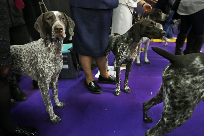 FILE - In this Feb. 13, 2018 file photo, German shorthaired pointers wait to enter the ring during the 142nd Westminster Kennel Club Dog Show in New York. At No. 9, the German shorthaired pointer notched its highest ranking in 2018, since getting American Kennel Club recognition in 1930.  (AP Photo/Seth Wenig, File)