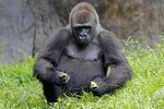 Tumani, a 13-year old critically endangered western lowland gorilla that is expecting to give birth later this summer, eats in her enclosure at the Audubon Nature Institute in New Orleans, Monday, July 6, 2020. If the pregnancy is successful, it will be the first gorilla born at the zoo since 1996. (AP Photo/Gerald Herbert)