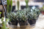 In this Jan. 31, 2020 photo, succulents and other houseplants sit for sale inside Blue Ribbon Nursery in Broadway, Va. (Daniel Lin/Daily News-Record via AP)