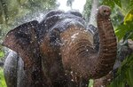 An elephant Kandula sprays water at a suburb of Colombo, Sri Lanka, Sunday, Sept. 12, 2021. Environmentalists in Sri Lanka are challenging a court order issued earlier this month that would allow the return of 14 illegally captured wild elephants to people accused of buying them from traffickers. Rights groups and lawyers say the Sept. 6 court order is based on a government decree that violates Sri Lankan environmental laws. Elephants are revered because they have been an essential part of religious and cultural festivals in Sri Lanka for many centuries. (AP Photo/Eranga Jayawardena)