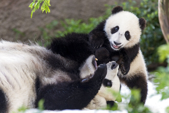 This undated photo provided by San Diego Zoo Global shows giant pandas Bai Yun, a 27-year-old female, and her son, 6-year-old Xiao Liwu, at the San Diego Zoo in San Diego. In honoring the terms of the Zoo's conservation loan agreement with the People's Republic of China, the pandas will leave the San Diego Zoo in April and will be repatriated to their ancestral homeland.