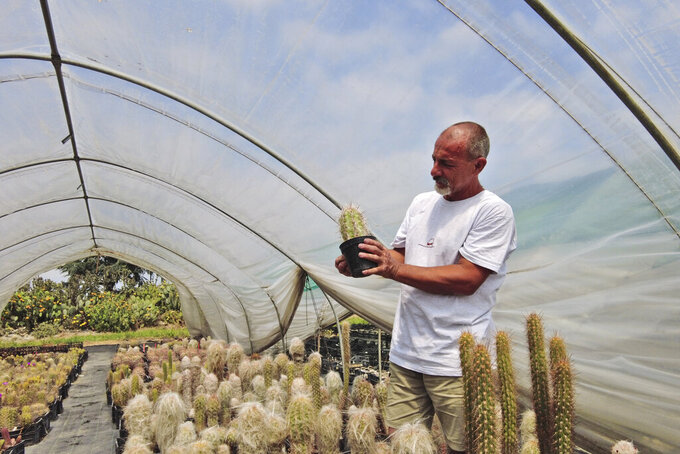 Andrea Cattabriga, President of the Association for Biodiversity and Conservation, examines his homegrown rare cacti at his greenhouse in San Lazzaro di Savena, Italy, Saturday, June 5, 2021. Cattabriga, a top expect on rare cacti, was called by the Carabinieri Military Police in February 2020 as a consultant to examine thousands of cacti stolen from from the Atacama Desert in Chile, confiscated when police conducted a massive cactus bust at a greenhouse along the Adriatic Coast in Italy. (AP Photo/Trisha Thomas)