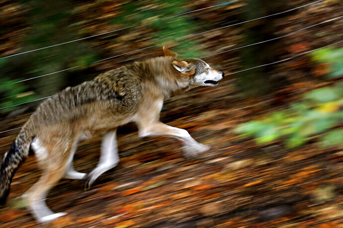 In this Oct. 10, 2019, photo a 12-year-old male red wolf runs through its enclosure at Virginia Living Museum in Newport News, Va. (Jonathon Gruenke/The Daily Press via AP)