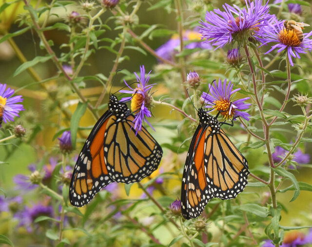 This undated photo provided by Timber Press shows monarch butterflies in the University of Delaware Botanical Garden in Newark, Del., and is featured in the Douglas Tallamy book