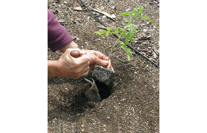 """This undated photo shows tomato being planted in a garden in New Paltz, NY. One week after the """"average date of the last killing frost"""" for your garden is the time when it's generally safe to plant out tomato transplants. (Lee Reich via AP)"""