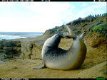 This 2011 photo from a U.S. Fish and Wildlife Service motion-activated camera shows an elephant seal in the Channel Islands National Park off the coast of Southern California. Motion-detecting wildlife cameras devices are getting smaller, cheaper and more reliable, and scientists across the United State are using them to document elusive creatures like never before. (U.S. Fish and Wildlife Service via AP)