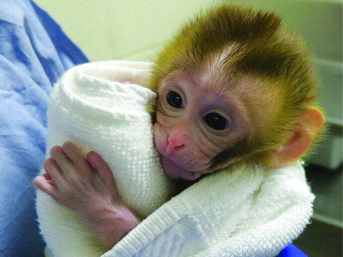 This undated photo provided by the Oregon Health and Science University in March 2019 shows a baby monkey named Grady, at two weeks old, born from an experimental technology that aims to help young boys undergoing cancer treatment preserve their future fertility. Scientists froze testicular tissue from a monkey that had not yet reached puberty, and later thawed it to produce sperm used for Grady's conception. (OHSU via AP)