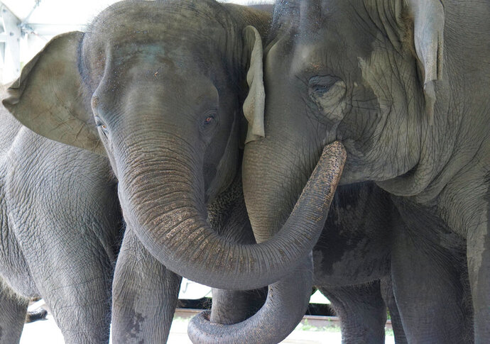 In this Sept. 2019, photo provided by the White Oak Conservation, Asian elephants, Kelly Ann, born Jan. 1, 1996, and Mable, born April 6, 2006, are seen at the Center for Elephant Conservation in Polk City, Fla.  A Florida wildlife sanctuary is building a new 2,500-acre home for former circus elephants. The White Oak Conservation Center announced Wednesday, Sept. 23, 2020, that it's expecting to welcome 30 Asian elephants starting next year. (Stephanie Rutan/White Oak Conservation via AP)