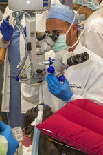 In this 2019 photo provide by San Diego Zoo Global, cataract surgeon Chris Heichel performs cataract surgery on Leslie, a 3-year-old western lowland gorilla, in the operating room at the San Diego Zoo Safari Park's Paul Harter Veterinary Medical Center in San Diego. A cataract was removed on Dec. 10 from the left eye of the 3-year-old western lowland gorilla who lives at the San Diego Zoo Safari Park, the park announced Monday, Jan. 6, 2020. (Ken Bohn/San Diego Zoo Global via AP)