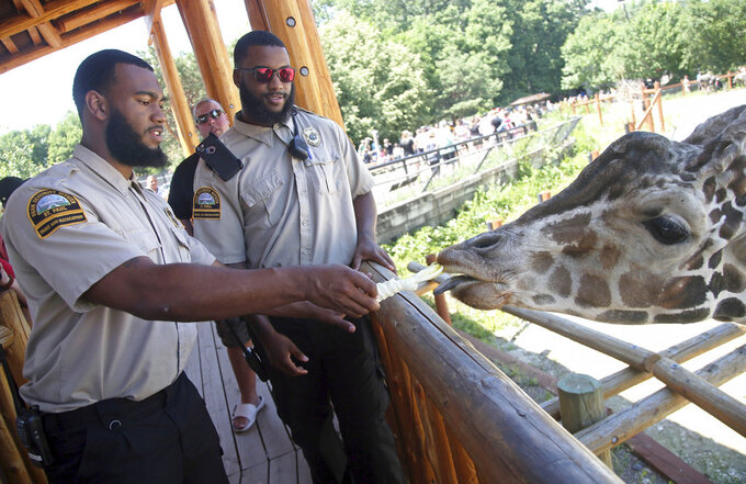 In this July 6, 2018, photo, University of Minnesota football players Jerry Gibson, right, and Winston DeLattiboudere feed a giraffe while working as security guards this summer at the Como Park Zoo and Conservatory for the city of St. Paul, Minn., a few miles from the university campus. One of the Gophers coaches connected them to the opportunity. (AP Photo/Jim Mone)