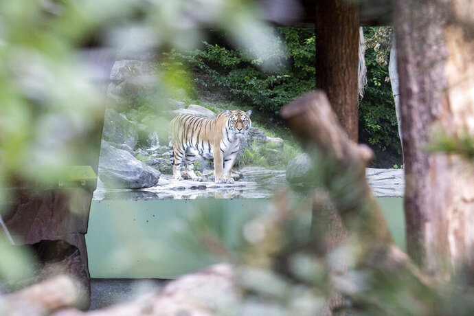 The tiger male Sayan in the restricted area at the Zoo Zurich after the accident in the tiger enclosure where a female keeper was attacked and fatally injured by a female tiger, in Zurich, Switzerland, Saturday, July 4, 2020. Two adult Amur tigers live in the tiger enclosure: the five-year-old female Irina and the four-and-a-half-year-old male Sayan. (Ennio Leanza/Keystone via AP)