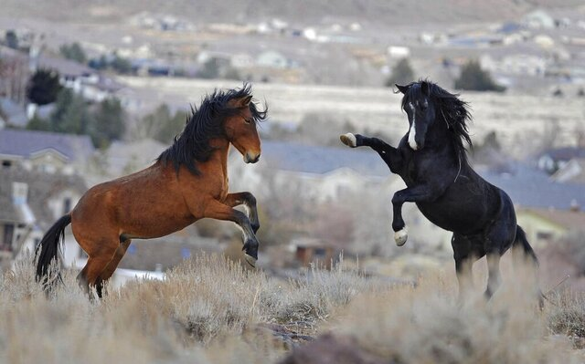 FILE - In this Jan. 13, 2011, file photo, two young wild horses play while grazing in Reno, Nev. Federal land managers say it will take 20 years and cost more than $1 billion over the first six years alone to slash wild horse populations to sustainable levels necessary to protect U.S. range land. (Andy Barron/The Reno Gazette-Journal via AP, File)