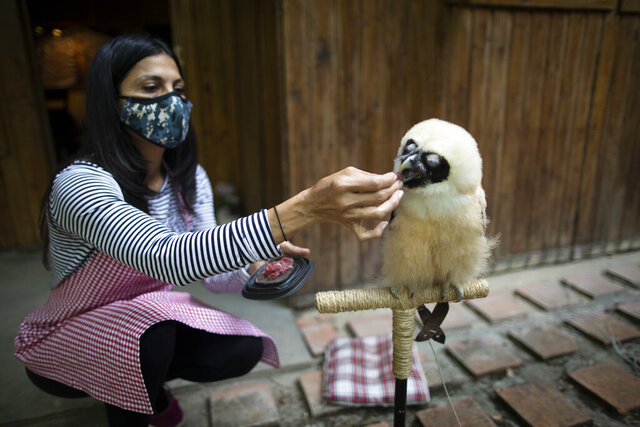 The veterinarian and environmentalist Grecia Marquis feeds a spectacled owl who when if fell from a tree a month ago was dehydrated and skinny, in Caracas, Venezuela, Monday, Sept. 21, 2020. Marquis, founder of Feathers and Tails in Freedom, said that the rescue of wild animals in the capital