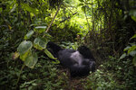 "In this Sept. 2, 2019 photo, a silverback mountain gorilla named Segasira lies under a tree in the Volcanoes National Park, Rwanda. Once depicted in legends and films like ""King Kong"" as fearsome beasts, gorillas are actually languid primates that eat only plants and insects, and live in fairly stable, extended family groups. Their strength and chest-thumping displays are generally reserved for contests between male rivals. (AP Photo/Felipe Dana)"