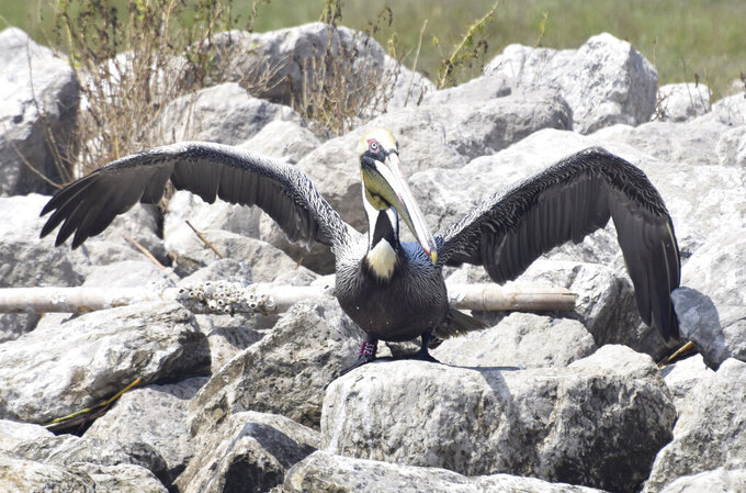 """This March 2021 photo provided by the Louisiana Department of Wildlife and Fisheries shows a brown pelican with a red band marked """"33Z"""" on Louisiana's Queen Bess Island. The pelican, rescued from the 2010 oil spill, cleaned of oil and released in Georgia, has returned 700 miles (1,126 kilometers) to the island restored for pelicans and other seabirds. (Casey Wright/LDWF via AP)"""