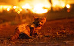 FILE - In this Sept. 27, 2020, file photo, a kitten is seen burned at the Zogg Fire near Ono, Calif. Pacific Gas & Electric has been charged with manslaughter and other crimes, Friday, Sept. 24, 2021,  in a Northern California wildfire last year that killed four people and destroyed hundreds of homes.  (AP Photo/Ethan Swope, File)