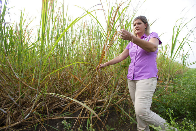 In this photo provided by LSU AgCenter, Renee Castro, LSU AgCenter area ag agent, examines shredded and browned tops of sugarcane that was impacted by Hurricane Ida's strong winds in St. John the Baptist Parish, La., Sept. 8, 2021. Many cane stalks in this field, such as those to the left of Castro, were bent due to the wind impact. Experts at the LSU AgCenter estimate that Hurricane Ida's winds and floods did at least $584 million in damage to agriculture in Louisiana. (Olivia McClure/LSU AgCenter via AP)