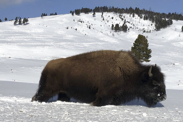 FILE - In this Feb. 17, 2020, file photo, a bison walks through the snow in Yellowstone National Park's Lamar Valley near Mammoth Hot Springs, Wyo. The superintendent of Yellowstone National Park says it likely won't reopen until May 2020 or later, delaying the start of its traditional summer season for millions of tourists because of the coronavirus outbreak. Yellowstone and Grand Teton National Park have been closed since March 24, 2020, because of the virus. (AP Photo/Matthew Brown, File )