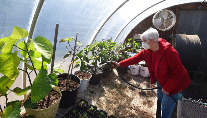 Mary Picardo of Millcreek Township, Pa., waters fig plants in her backyard greenhouse on March 19, 2021.  Gus and Mary Picardo have been eating their own homegrown lettuce since February. By mid-March, they had tomatoes growing on more than four dozen healthy plants. Their fig trees were bearing fruit while most of the region's figs were still buried to protect them from the cold. (Jack Hanrahan/Erie Times-News via AP)