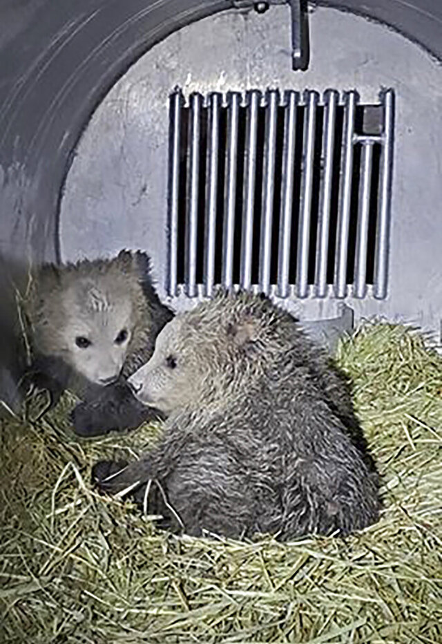 FILE - This April 10, 2020, file photo provided by Montana Fish, Wildlife and Parks shows a trio of grizzly cubs, orphaned after their mother was euthanized after biting a hiker south of Glacier National Park, in a kennel at Montana Wild in Helena, Mont. State and federal wildlife officials say the bears will soon be placed at Bearizona Wildlife Park in Williams, Ariz. At the time they were captured, the cubs were about 2.5 months old and weighed between 11 and 14 pounds (5 and 6 kilograms) said Mike Madel, a grizzly bear management specialist with the department of Fish, Wildlife and Parks. (Mike Madel/Montana Fish, Wildlife and Parks via AP, File)