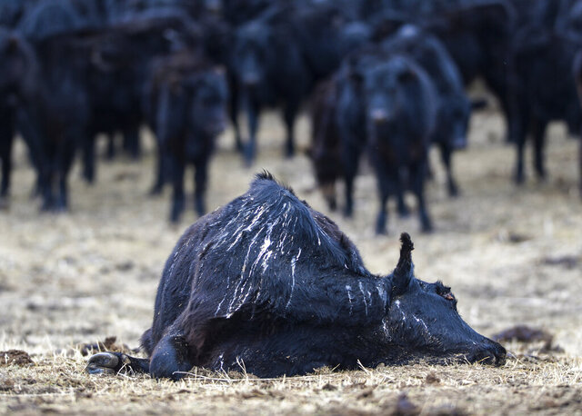 In this Tuesday, March 31, 2020, photo, the carcass of a dead cow lies in a pasture on Mission Road in Cascade, Mont. Cascade County Sheriff Jesse Slaughter and his staff learned of the starving black Angus herd after people who drove by the property reported seeing the dead cows, the Great Falls Tribune reported Tuesday. (Rion Sanders/The Great Falls Tribune via AP)