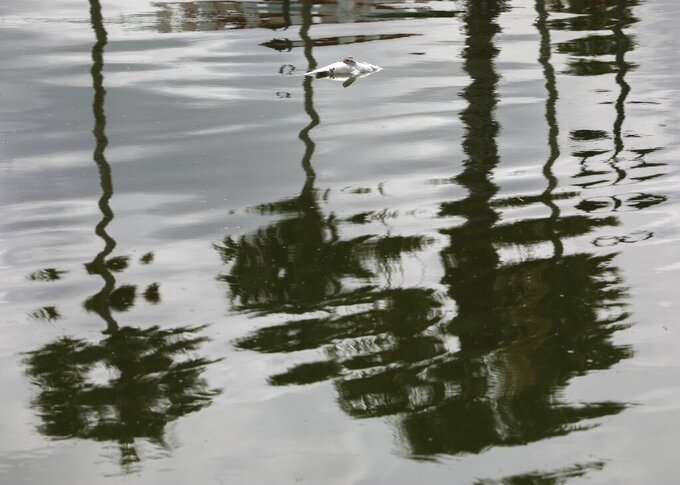 A dead fish is seen floating in the water as palm trees are reflected Thursday, June 17, 2021 in the intracoastal waters between Clearwater and Dunedin, Fla. Pinellas County had small boats retrieving dead fish in Dunedin and around Clearwater Harbor Thursday. The fish kill is attributed to the recent Red Tide bloom. (Chris Urso /Tampa Bay Times via AP)