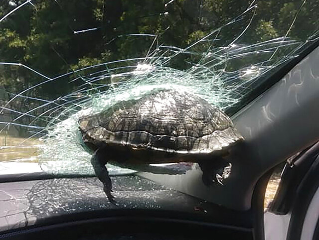This May 12, 2020, photo provided by Latonya Lark shows a turtle hanging halfway through the windshield of Lark's car in in Savannah, Ga. Lark and her brother were not seriously hurt after the turtle launched through the air and became lodged into the windshield of the car they were in, Lark told WSAV-TV. (Latonya Lark via AP)