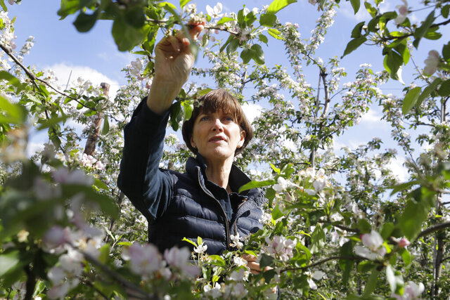 In this  May 5, 2020, photo, Ali Capper inspects the blossom on her apple trees at Stocks Farm in Suckley, Worcestershire. Britain's fruit and vegetable farmers have long worried that the exit from the European Union would keep out the tens of thousands of Eastern European workers who come every year to pick the country's produce. Now, the coronavirus pandemic has brought that feared future to the present. (AP Photo/Kirsty Wigglesworth)