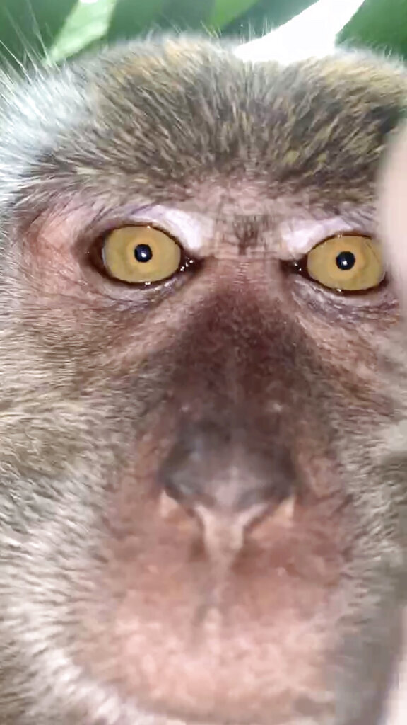 This photo provided by Zackrydz Rodzi shows a monkey which took a selfie in Batu Pahat in the southern state of Johor, Malaysia on Saturday, Sept. 12, 2020. Rodzi, a Malaysian student whose cellphone was stolen while he was sleeping has tracked down the culprit: a monkey who took photo and video selfies with the device before abandoning it. (Zackrydz Rodzi via AP Photo)