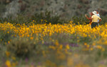 In this Wednesday, March 6, 2019, photo, a group of men take pictures with their phones as they stand among wildflowers in bloom near Borrego Springs, Calif. Two years after steady rains sparked seeds dormant for decades under the desert floor to burst open and produce a spectacular display dubbed the
