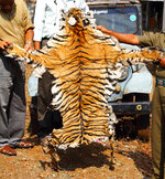 This April 2010 photo provided by the Wildlife Trust of India shows a tiger skin seized by the forest officials of Tamil Nadu state in southern India. Authorities in India are concerned a 2020 spike in poaching not only could kill more endangered tigers and leopards but also species these carnivores depend upon to survive. (WTI via AP)