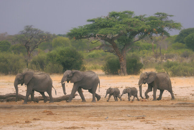 FILE — In this Sunday Nov. 10, 2019 file photo a herd of elephants make their way through the Hwange National Park, Zimbabwe, in search of water. An environmental group in Zimbabwe has applied to the country's High Court Tuesday Sept. 8, 2020, to stop a Chinese firm from mining coal in the park which hosts one of Africa's largest populations of elephants. (AP Photo/File)