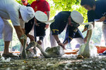 Swan Uppers measure and tag a captured swan and it's Cygnets on the River Thames near Windsor, England, during Swan Upping, Tuesday July 20, 2021.  The ancient tradition of Swan Upping is the annual census to gauge the numbers and health of the swan population on the River Thames. (Steve Parsons/PA via AP)